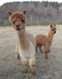 Klarice &amp; Tebogo (5 year old alpacas)